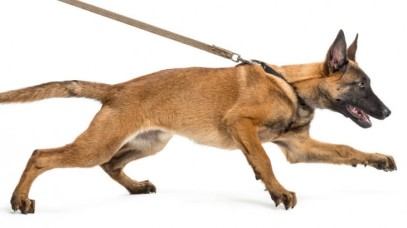 malinois-pulling-on-leash